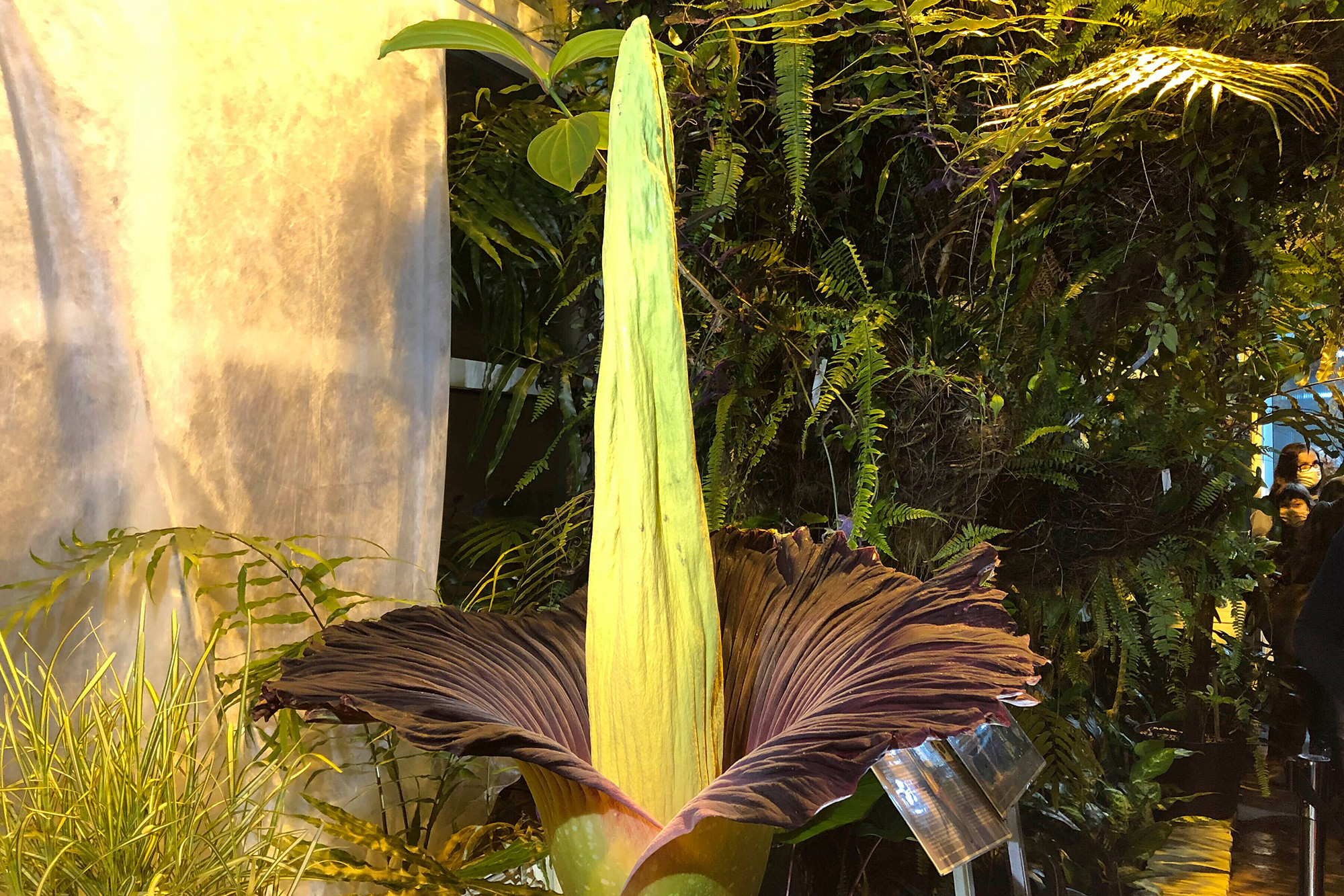 The endangered Sumatran Titan arum, or the corpse flower, at the rare moment of bloom for just a few hours, and emitting rotten meat odor, at the Warsaw University Botanical Gardens, in Warsaw, Poland, on Sunday, June 13, 2021.